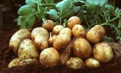 الفطر ينجح ومشروع إنتاج بذار البطاطا يقطع شوطاً