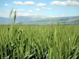 متابعة تنفيذ الخطة الزراعية في درعا