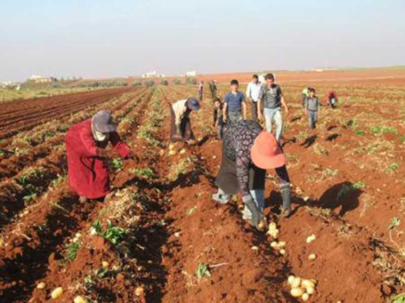 بحاجة إلى المزيد دعم القطاع الزراعي ضرورة يفرضها الواقع..  وإعادة التسعير تنعش البيادر