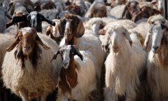 «نبوءة» يابانية منذ تسعينيات القرن الماضي تفرض صوابيتها اليوم  قطعان الماشية ملاذ اقتصادي آمن مع تراجع الواردات المائية وتدني الانتاجية الزراعية..