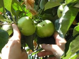 إجراءات لمكافحة دودة ثمار التفاح