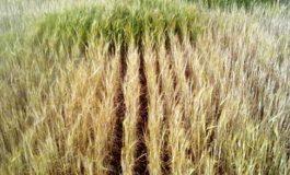 حصاد 69 ألف هكتار قمح و423 هكتار شعير