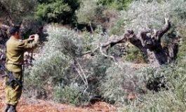 مستوطن يطعن فلسطينياً.. وآخرون يقطعون أشجار الزيتون في نابلس