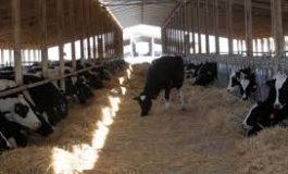 3100 كغ حليب إنتاج محطة أبقار جب رملة يومياً