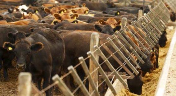 مسابقة جمال الأبقار في باراغواي