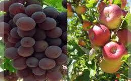 أسعار تأشيرية للتفاح والعنب