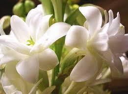 - أزهار الزنبق-